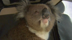 Koala safe after hitching a 16-km ride on a car's