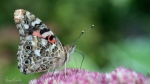 Painted Lady butterfly on sedum flower. Lots of butterfly activity as they store up before their annual migration. (Bruce Kennedy/CTV Viewer)