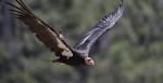 In this Wednesday, June 21, 2017 photo, a California condor takes flight in the Ventana Wilderness east of Big Sur, Calif. T(AP Photo/Marcio Jose Sanchez)