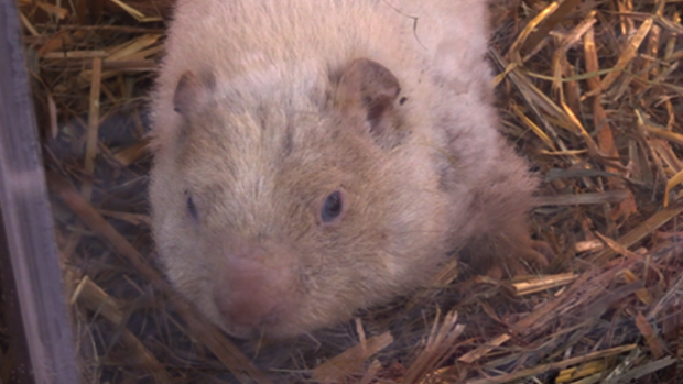 Groundhog Wiarton Willie dies at age 13