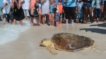 In this July 14, 2016 file photo a loggerhead sea turtle, is released back into the gulf after being treated for pneumonia at Gulf World Marine Institute, in Inlet Beach, Fla. (Heather Leiphart /News Herald via AP, File)