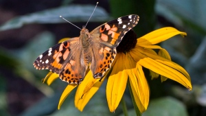A painted lady butterfly is seen on a flower in Montreal on Tuesday, September 19, 2017. Thousands of the orange butterflies are being spotted all over Montreal who are on a rest stop as they migrate south as far as northern Mexico. (THE CANADIAN PRESS/Paul Chiasson)