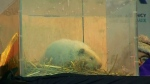 Wiarton Wille passes away at the age of 13