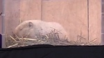 Wiarton Willie dead at 13