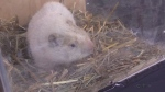 Wiarton Willie dies of natural causes