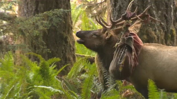 A Vancouver Island elk known for getting entangled in debris has once again found himself caught up, this time in a deflated inner tube. Sept. 20, 2017. (CTV Vancouver Island)