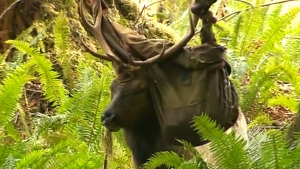 Notorious B.C. elk gets entangled in inner tube