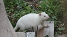 Wee Willie can be seen in an Oro Station, Ont. backyard in this undated photo. (Crystal Wallace)