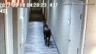 CTV Montreal: Trending: Wandering goat