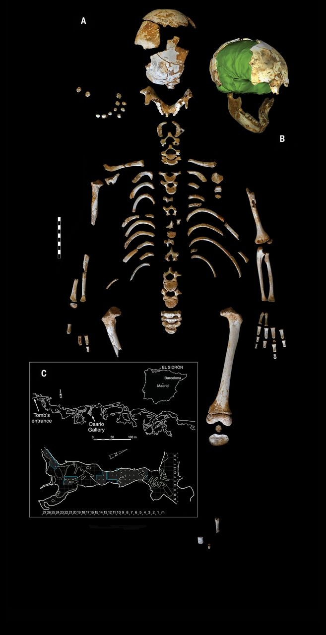 The El Sidrón J1 Neandertal skeleton. (Rosas, et al./Science)