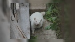 Wiarton Willie successor from Oro-Medonte