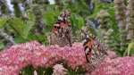 Painted Ladies in Kanata (Linda MacKay/CTV Viewer)