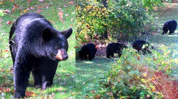Mama bear even drank some water from our pool! Photo by Brian Lesko.