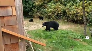 A video of a Sooke man politely asking a family of black bears to leave his property has gone viral. Sept. 18, 2017. (Courtesy Jordan Cote)