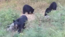 Jeff Haydukewich snapped this photo of a bear family minutes before the mother bear attacked him while he was archery hunting near Weirdale, Sask. (Jeff Haydukewich)