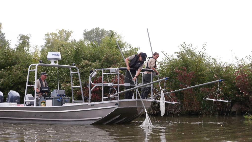 Grass carp being netted