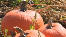 The owner of Galey Farms in Saanich says the supply at his pumpkin patch is down 20 per cent. Sept. 24, 2017 (CTV Vancouver Island)