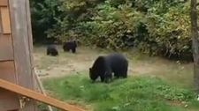 B.C. man politely asks bears to leave backyard