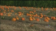 Dry conditions could lead to pumpkin shortage