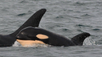 Southern Resident Killer Whale J52, a two-and-a-half-year-old male born in 2015, has died. (Centre for Whale Research)