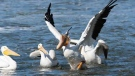 Pelicans enjoying fishing at Lockport. Photo by Neil Longmuir.