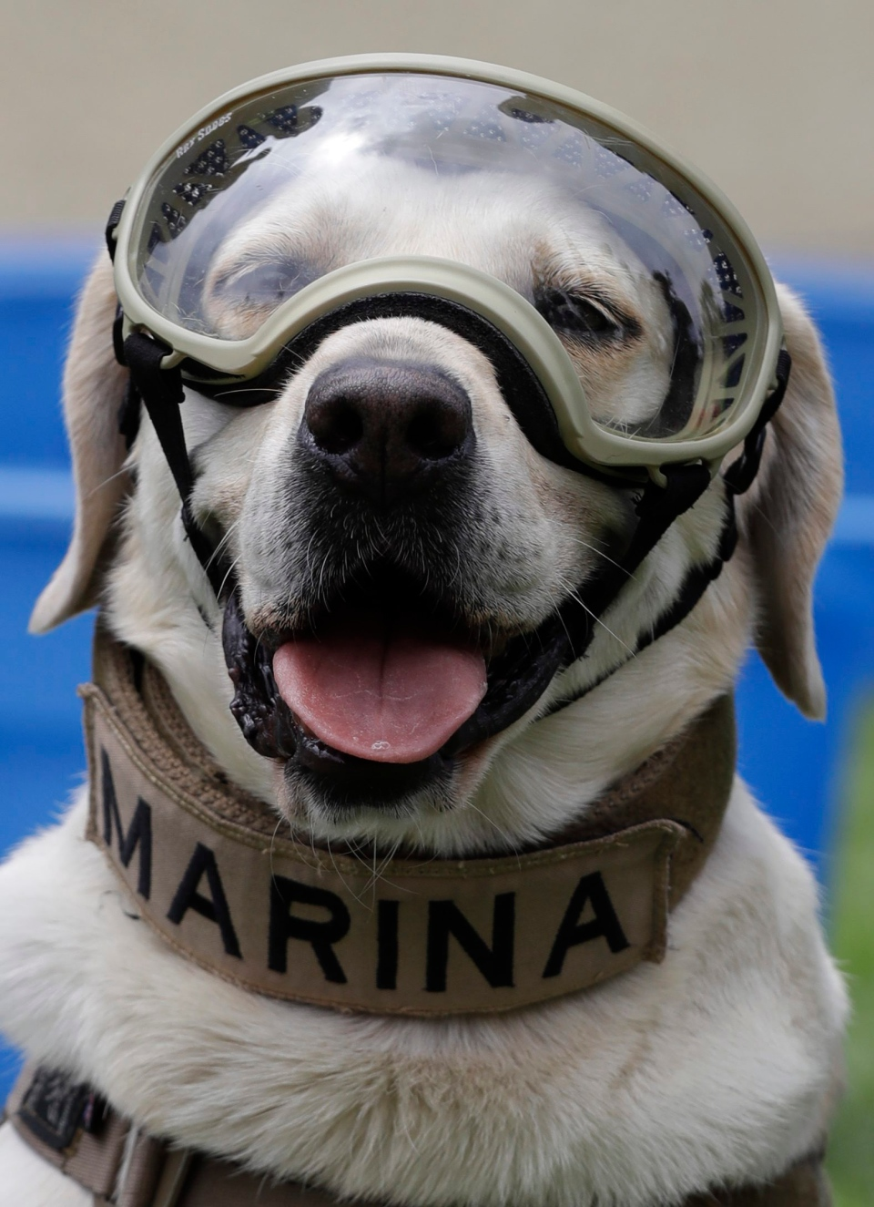 Frida, one of three Marine dogs specially trained to search for people trapped inside collapsed buildings, wears her protective gear during a press event in Mexico City, Thursday, Sept. 28, 2017. (Rebecca Blackwell/AP Photo)