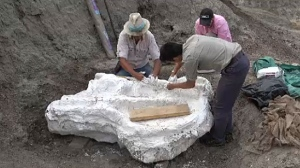 Researchers covered the fossilized skull of a Chasmosaurus Canadensis with plaster a year ahead of its removal from the Hilda Badlands.