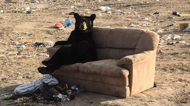 Woman Snaps Pic Of Bear Lounging At Dump Ctv News Winnipeg