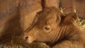 A calf named Clover is seen at the Kindred Community Animal Sanctuary in Surrey, B.C., in a 2008 file image.