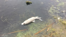Blue-green algae believed to be cause of fish kill
