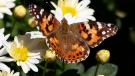 A painted lady butterfly flies near daisies in a garden in downtown Denver Wednesday, Oct. 4, 2017. (AP Photo / David Zalubowski)