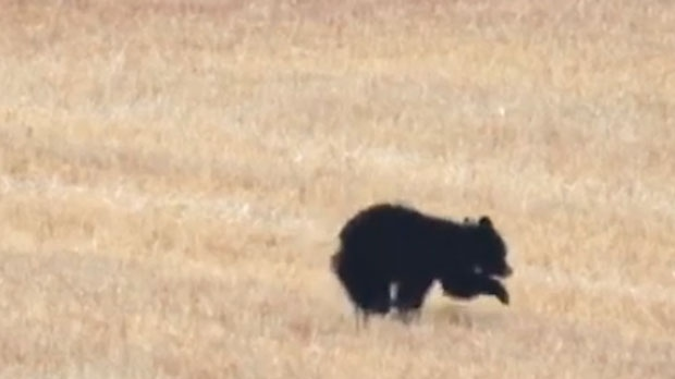 An injured black bear cub in a field near the intersection of Highway 22 and Springbank Road (image: Rob Evans)