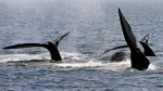 A ballet of three North Atlantic right whale tails break the surface off Provincetown, Mass., in Cape Cod Bay on April 10, 2008. (Stephan Savoia/AP)