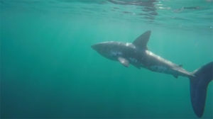 Salmon sharks are a member of the same family as great whites and can grow as big as three metres long, but generally shy away from mammals, experts say. Oct. 6, 2017. (Filter Studios)