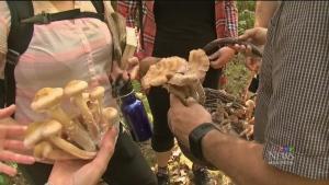 Quebec's edible wild mushrooms