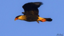 Photo taken by Mitch Doucet of a crested caracara