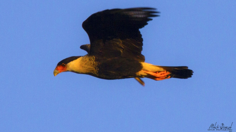 A photo taken by Mitch Doucet of a crested caracara. (MitchDoucet)