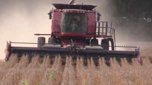 A combine works in a field of soybeans in Huron County in 2017. (Scott Miller / CTV London)