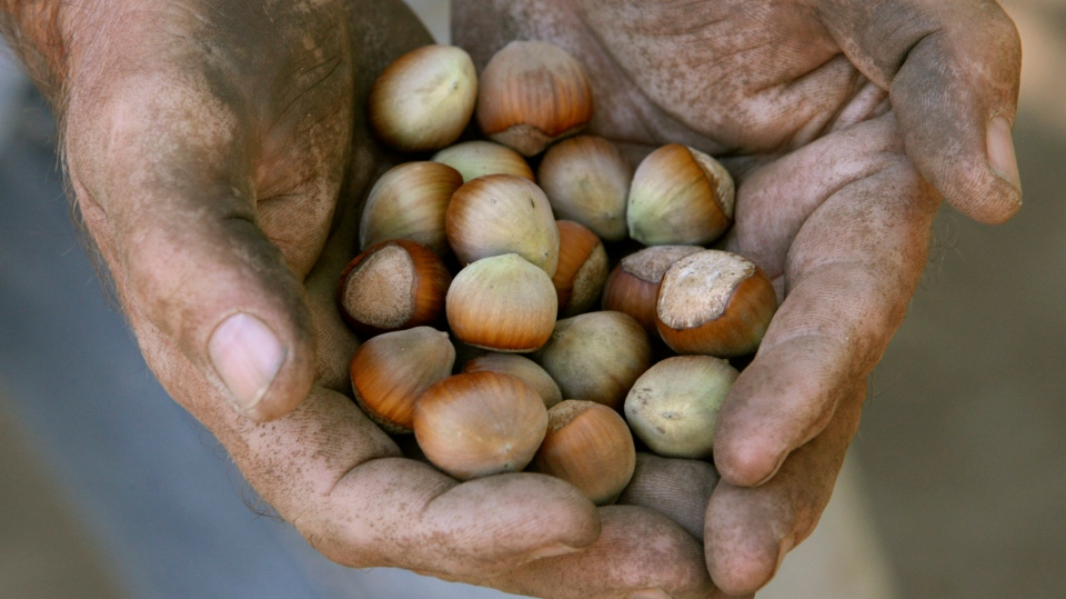 A farmer holds a handful of hazelnuts in Canby, Ore., in this Aug. 28, 2007 file photo. (AP / The Oregonian / Doug Beghtel)