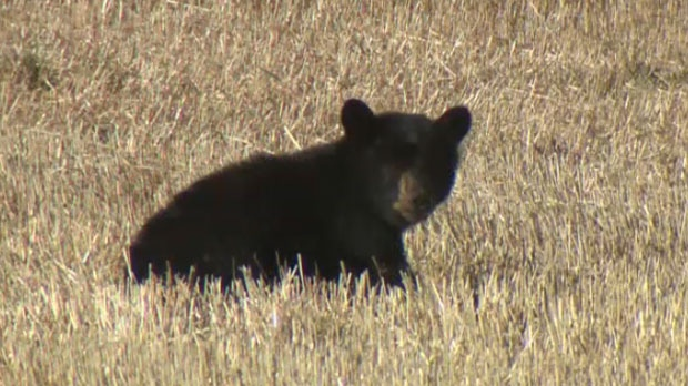 A juvenile bear, suffering from a leg injury, has been a fixture of a field near the intersection of Highway 22 and Springbank Road, west of Calgary