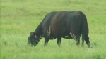 Researchers focus on corn forage as cattle feed