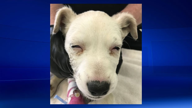A puppy, believed to be a Labrador/Australian Cattle Dog cross, has been euthanized after being found in a southwest dumpster on Tuesday (photo: Calgary Humane Society)