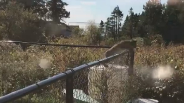 Kelly St Pierre of Indian Harbour, N.S., started recording after noticing this wild bobcat in her backyard.