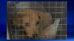 Puppy that was euthanized after being left in a dumpster (image: Calgary Humane Society)