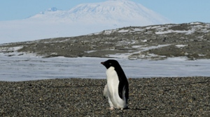 Surviving mostly on a diet of krill -- a small shrimp-like crustacean -- Adelie penguins, slick and efficient swimmers, have been generally faring well in East Antarctica. MARK RALSTON / POOL / AFP