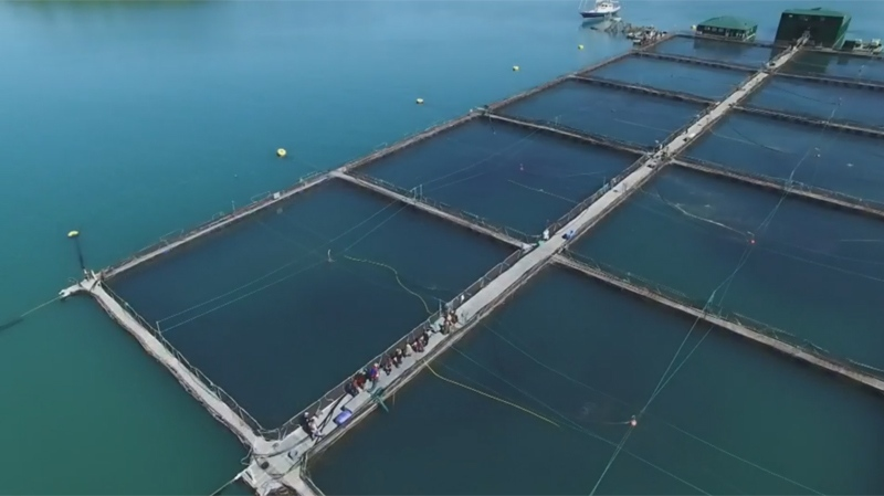 The biggest fish farming company in B.C. says it grows fish responsibly, and hopes discussion around its business is based on fact and science (W5).