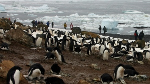 In this file photo dated Dec. 12, 2005, tourists observe scores of Adelie penguins gathered at Brown Bluff on the northern tip of the Antarctic Peninsula.  (AP Photo/Brian Witte, FILE)
