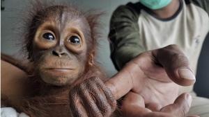 Rescued baby orangutan plays with a keeper at Nyaru Menteng Orangutan Rehabilitation Center in Central Kalimantan, Indonesia.  (Bjorn Vaughn, BPI/BOS Foundation via AP)
