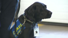 Delray, a three-year-old black lab, will soon be helping Alberta paramedics de-stress following traumatic calls.