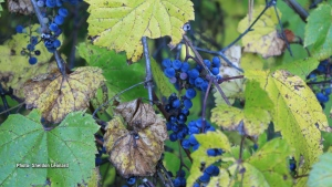 Fall Grapes on the farm. (Sheldon Leonard/CTV Viewer)